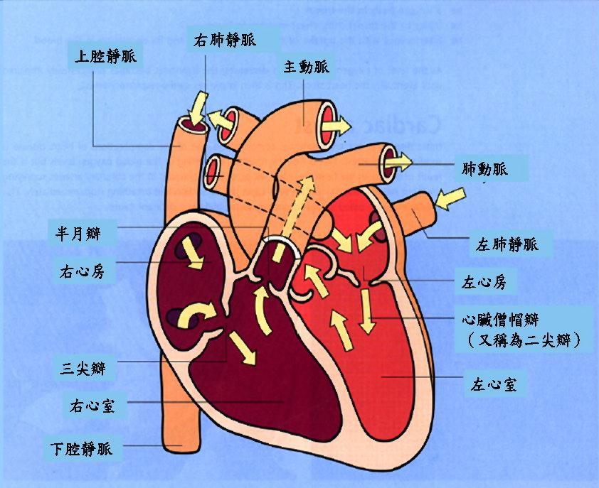 血液中的氧和二氧化碳分别与肺泡